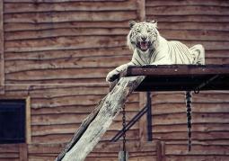 Biały tygys bengalski