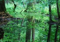 Zdjęcie: Podmokły las olszowy