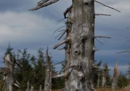 Wymarły drzewostan na Wielkiej Sowie
