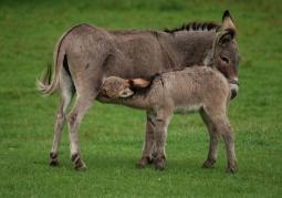 Samica osła karmiąca młode