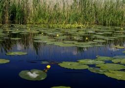 Rośliny wodne w Kanale Kwiatowym