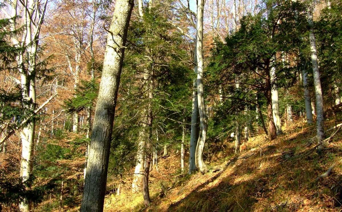 Rezerwat przyrody Cisy na Górze Jawor