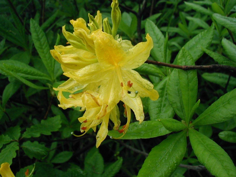 Różanecznik żółty