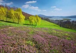 Pogórze Rożnowskie wrzosy
