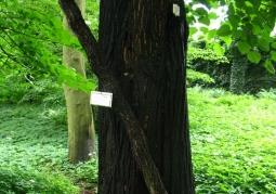 100 letni nieżywy dławisz okrągłolistny na lipie Tilia